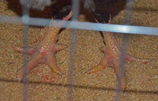 Một con gà Hồ cũng có giá lên tới hàng triệu đồng tùy cân nặng.