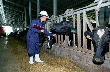 Bò tại trang trại TH True Milk