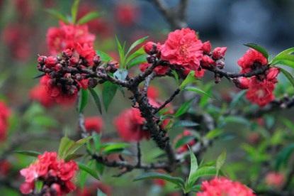 Giống đào Thất Thốn còn cho ra hoa kép. Trong một thốn đào, có thể ra vài chục bông hoa cùng lúc