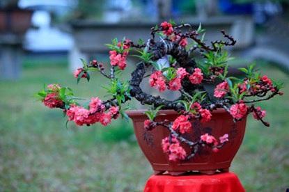 Hoa có màu hồng thẫm, số lượng cánh hoa trên một bông đào thất thốn tối đa khoảng 49 - 50 cánh