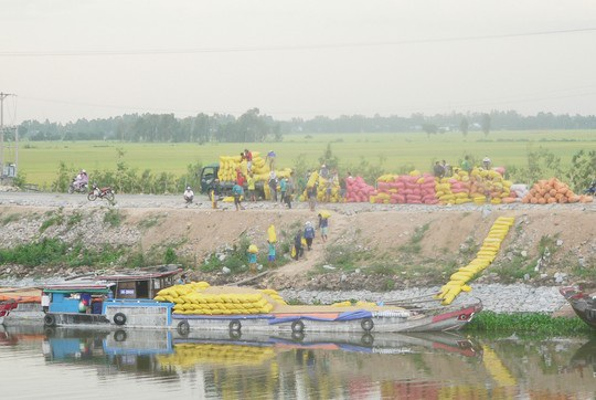 Trung Quốc ồ ạt mua gạo Việt Nam