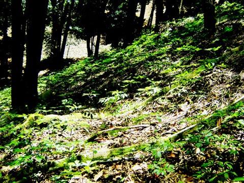 Vườn sâm Ngọc Linh hơn 15 năm tuổi trên núi Ngọc Linh (Ảnh: Lê Gân)