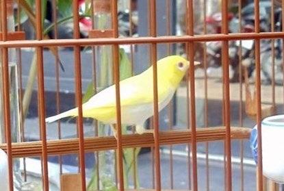 Chim hoàng khuyên đắt nhất hiện nay từng được trả giá 10.300 USD.