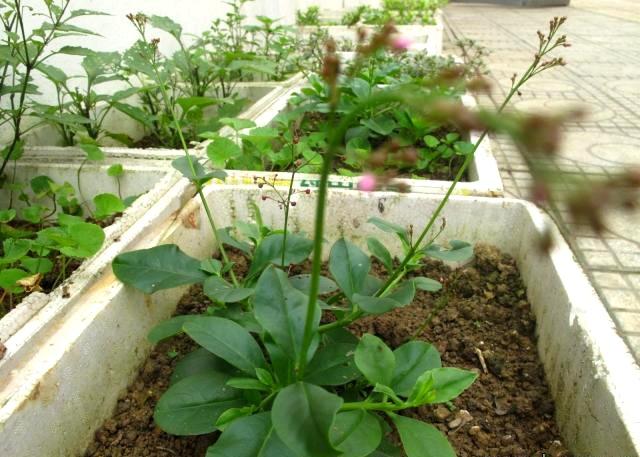 Sau trào lưu trồng rau sạch, nay người dân Thủ đô lại chuyển qua trồng các loại rau dại