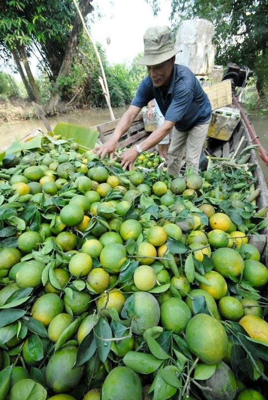 Về vùng cù lao Tân Lộc – TP Cần Thơ, nhà vườn cũng thu hoạch mận An Phước.