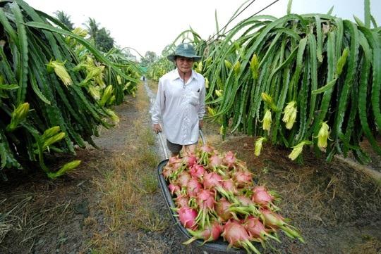 Nông dân thu hoạch khóm Cầu Đúc ở Hậu Giang.