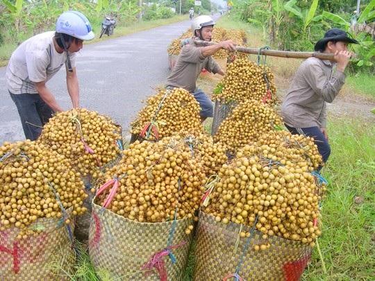 Nhãn xuồng cơm vàng ở Vĩnh Long nhà vườn đang cho thu hoạch bán giá cao nhờ thị trường xuất khẩu.