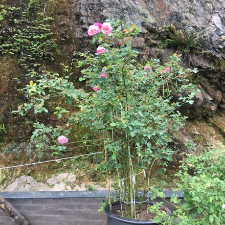 Theo những quản gia của căn biệt thự này, thì chủ nhân của nó mua những khóm hồng từ Pháp hay hồng cổ Sa Pa có giá hàng triệu đồng về để trồng trong vườn. Có khóm 3-4 triệu đồng, có khóm 6-7 triệu đồng.