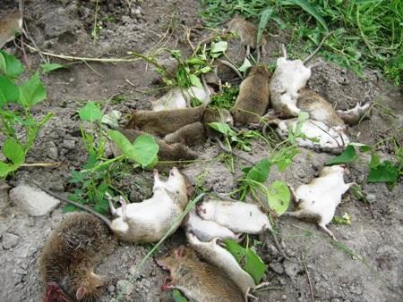 Số chuột do người dân diệt được bằng phương pháp đào