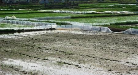 Nhiều ha lúa của người dân đứng trước nguy cơ bị xóa trắng