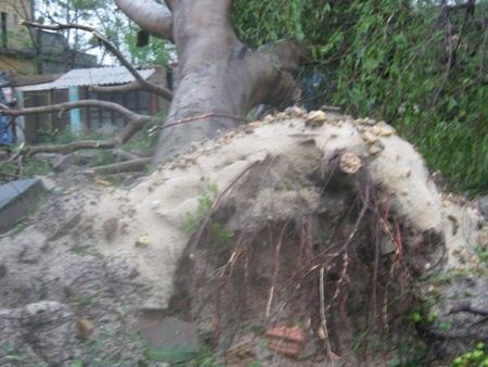 Một cây cổ thụ bị bật gốc (Ảnh: Đăng Đức).