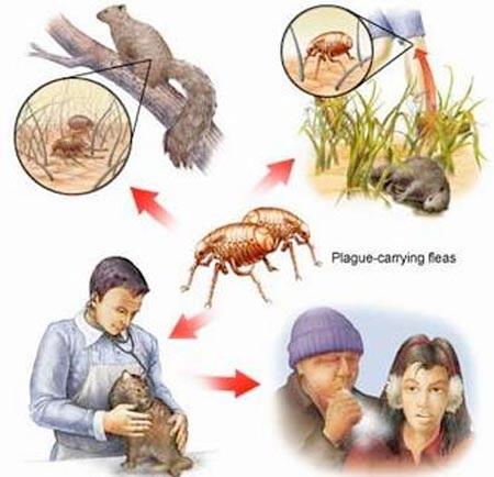 Đường lây truyền của dịch hạch