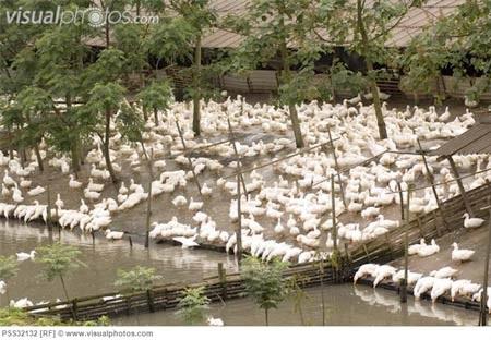 Người nuôi vịt tại Nam Kinh, Trung Quốc không dám ăn vịt nhà nuôi. Ảnh minh họa