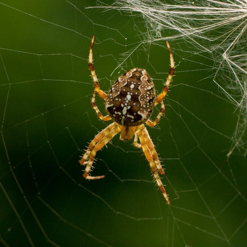 Điều trị đau mạn tính bằng nọc độc nhện