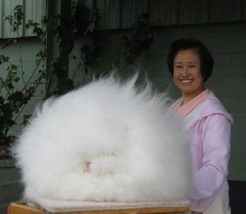 Chú thỏ có bộ lông dài như chó xù