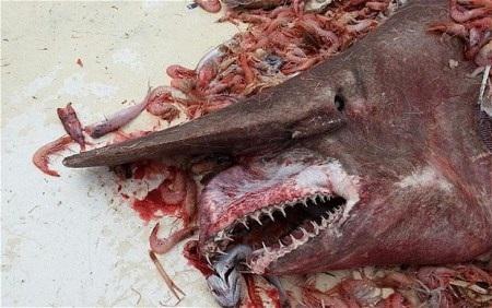 Cá mập yêu tinh có những chiếc răng trông rất dữ tợn