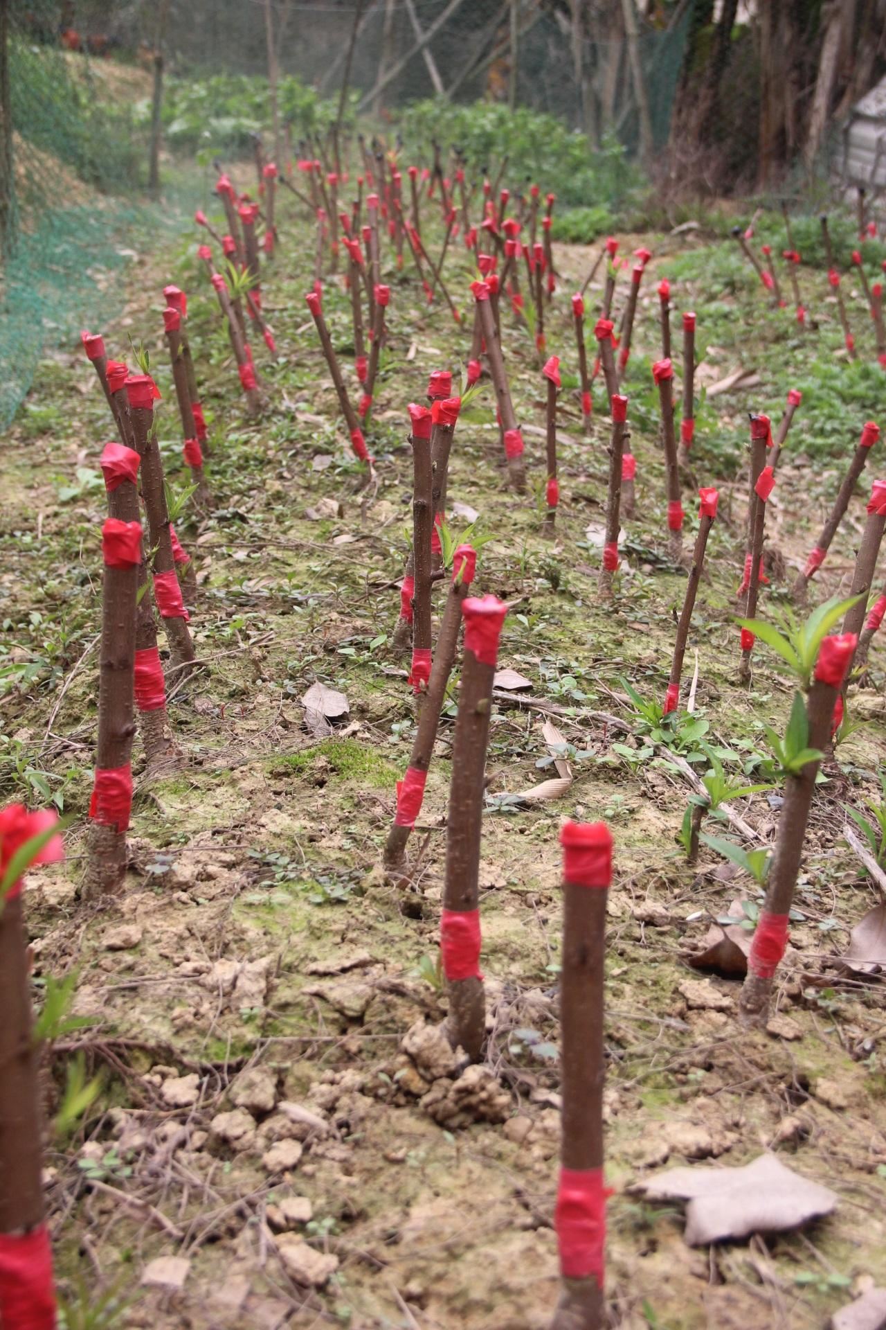 Những cây đào vừa mới được chiết cành, sau 1 năm sẽ cho thu hoạch