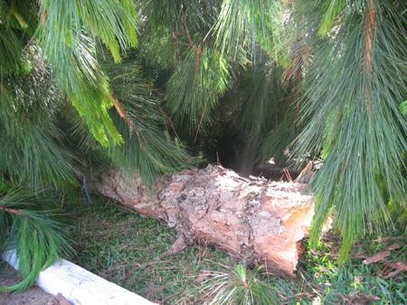 Xe tông gãy cây thông to như cột điện