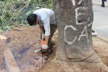 Sáng nay (27/1), hàng chục cây xà cừ cổ thụ có tuổi đời hàng chục năm đã bị đơn vị thi công chặt hạ