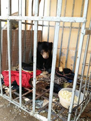 Gấu chó được chăm sóc tại Hạt Kiểm lâm huyện Nậm Pồ (Điện Biên)