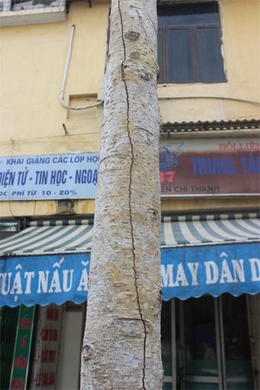 Nứt dọc khá dài theo thân cây