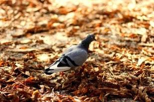 Xa xa,... một chú chim câu đang tìm bạn!