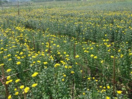 Những cánh đồng hoa bất tận đủ mầu sắc