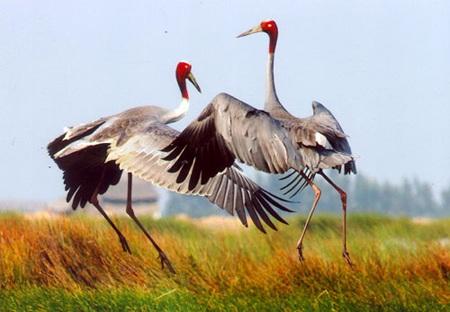 Với điều kiện tự nhiên lý tưởng, VQG Tràm Chim hiện thu hút gần 500 con sếu đầu đỏ về sinh sống