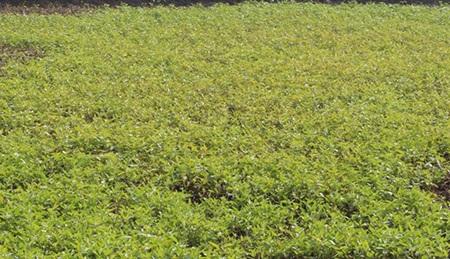 Rau muống thường có thể trồng trên cạn hoặc dưới nước