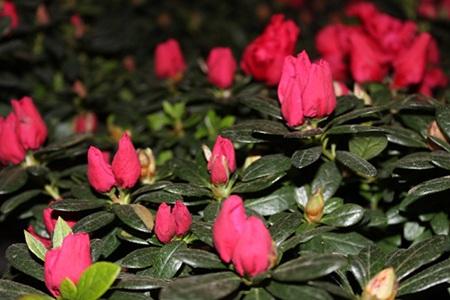 Với vẻ rực rỡ, những chùm hoa lãng mạn, cây đỗ quyên trăm tuổi này đã hút hồn nhiều người