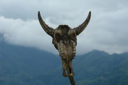 Một chiếc đầu trâu cắm trên cọc chôn trước mộ người chết ở Bản Phùng