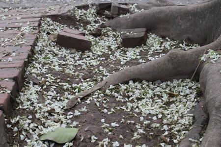 Hoa có chùm dài có màu trắng đẹp hiền hòa, hoa nở thành chùm ngay khi những lộc cây vừa nhú