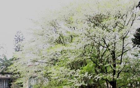Hà Nội mùa hoa tuyết trắng