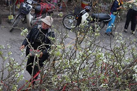 Những bông hoa lê trắng muốt mọc ra từ thân cây già cỗi