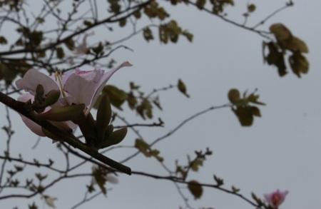 Sắc trắng của hoa ban mang trong mình bản chất của tình yêu trong sáng (ảnh: Minh Phan)