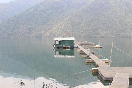 Nuôi các Lăng nay đã trở thành một nghề trên sông Đà.