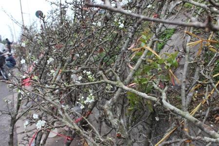 Những cành hoa lê này được mua từ vùng núi phía Bắc về từ sau tết.