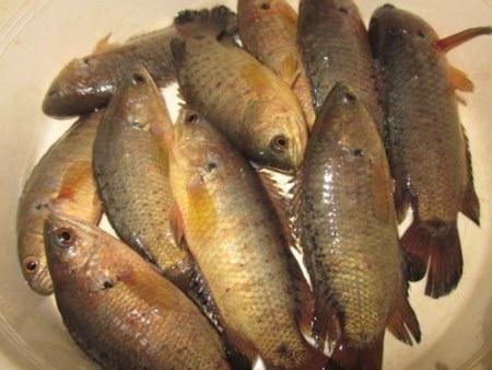 Mưa đầu mùa chợt nhớ món cá rô đồng kho tương...