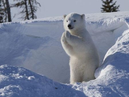 Chú gấu Bắc Cực thuộc Công viên Quốc gia Wapusk rất thân thiện