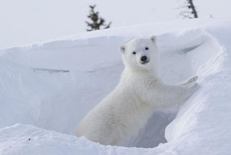 Chú gấu tiếp tục chui vào hang băng.