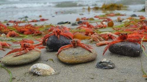 Đa số chúng còn sống nhưng khó lòng quay lại đại dương khi bơi ngược sóng