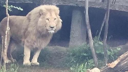 Động vật nguy hiểm như sư tử, gấu lang thang trên phố