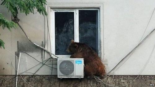 Trong khi đó, một con gấu cố bám trên tường tránh nước lũ