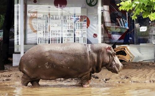 Một con gấu cố thoát thân khỏi đống bùn lầy khi bám vào những mảnh vỡ
