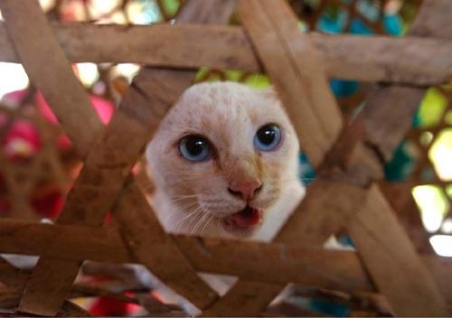Hình ảnh chú mèo với hi vọng mang lại may mắn cho người làng