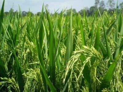 Thực hư chuyện Việt Nam nhập khẩu 70% giống lúa từ Trung Quốc