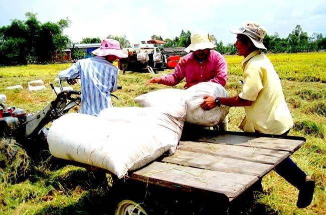 ĐBSCL đang rộ thu hoạch lúa gạo (Ảnh minh họa)