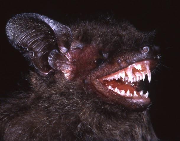 Loài Dơi với cặp răng nanh dữ tợn