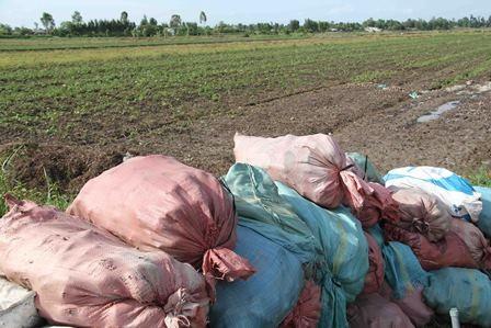 Hàng loạt tấn khoai lang (loại 3) chất đống ngoài ruộng để bỏ