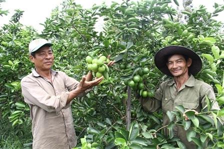 Chanh không hạt giúp nhiều người dân ở Hậu Giang thoát nghèo